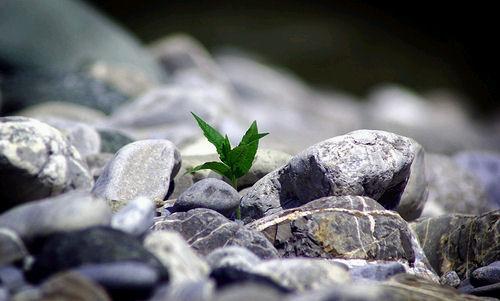 fiore-roccia